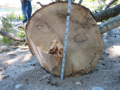 tree top 3