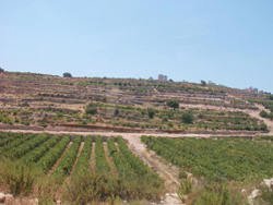 Olive grove in the West Bank
