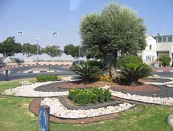 Olive tree on stolen